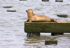 Hudson River Baby Seal (PaulBaron/PaBar) Tags: jerseycity waterfront hudsonriver hoboken babyseal canon55250is