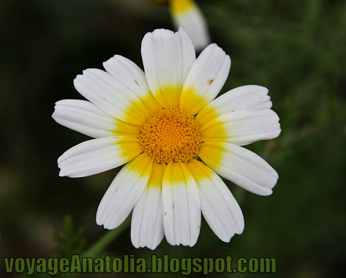 Daisies by voyageAnatolia.blogspot.com