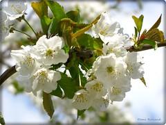 Bon week-end ... (Domi Rolland ) Tags: france nature fleur europe printemps millau douceur midipyrnes abigfave