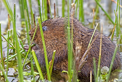 Ratty (Water Vole Tales from the river bank ) (Andrew Haynes Wildlife Images) Tags: nature mammal rodent wildlife norfolk nwt watervole canon7d ajh2008 cleymarshnwt
