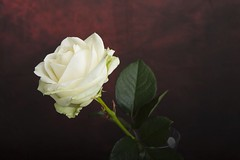 Roses (TIF Fotografie) Tags: roses rozen tiffotografie