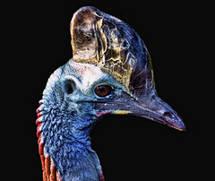 Southern Cassowary (Steve Wilson - over 6 million views Thanks !!) Tags: new uk blue red portrait england black color colour bird animal closeup blackbackground forest zoo guinea nikon rainforest colorful close cheshire britain head background wildlife great australian beak feathers conservation australia southern chester breeding queensland savannah colourful endangered d200 mangroves captive papuanewguinea papua critical rare cassowary avian captivity newguinea upton chesterzoo southerncassowary wattled nikond200 critically CZ:homepage=1 caughall