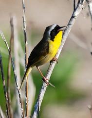 Common Yellowthroat (Billtacular) Tags: bird nature outdoors newjersey spring wildlife birding nj brigantine birdwatching edwinbforsythenationalwildliferefuge thewonderfulworldofbirds
