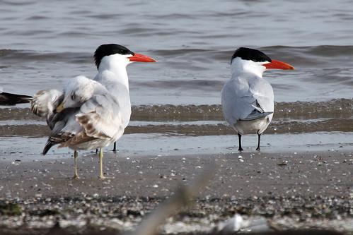 Ring-billed Gull and Caspian Terns