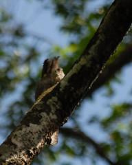 Northern Potoo (Jamdowner) Tags: birds animals wildlife trinidad trinidadtobago potoo asawrightnaturecentre northernpotoo ttmay2010