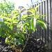 aloysia triphylla / citroenverbena