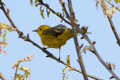 yellow warbler birdathon