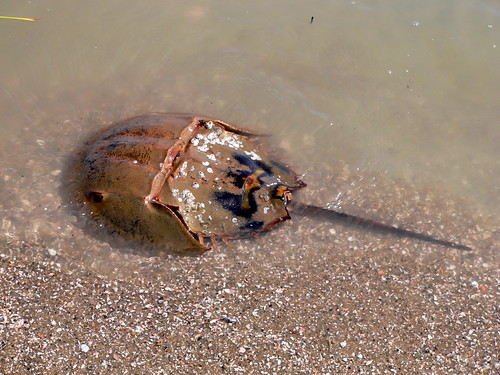 Horseshoe Crab At Mitchellville Beach, Hilton Head Island