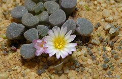 Endangered Frithia humilis flowering (Martin_Heigan) Tags: camera flower macro nature digital southafrica succulent nikon close martin photograph tiny flowering endangered d200 dslr humilis glasies suidafrika 60mmf28micro mesembryanthemaceae redlist heigan gefhrdet frithia mesembs mhsetsucculents enpeligro bobbejaanvingers toontjies envoiededisparition minacciatediestinzione