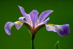Purple Iris Closeup