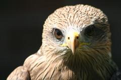 Yellow-billed Kite (Digitally Angelic) Tags: yellowbilledkite milandafrique milvusaegyptius internationalcentreforbirdsofprey geelsnavelwouw gelbschnabelmilan