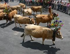 Vite , o est l'abreuvoir?Quick , something to drink.... (raym5) Tags: vaches aubrac troupeau estive