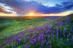 A Palouse Sunset From Steptoe Butte (kevin mcneal) Tags: wildflowers lupine palouse easternwashington steptoebutte ☆thepowerofnow☆