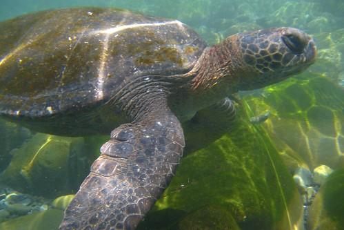 Galápagos Green Turtle (Chelonia mydas agassisi)