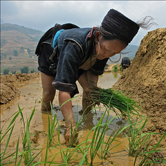 We are planting the Rice now (NaPix -- (Time out)) Tags: life portrait food woman black green water work landscape hope rice paddy farming working vietnam farmer planting sapa hmong paddies itshardwork muonghoavalley napix liensonmountainrange 1600mabovesealevel