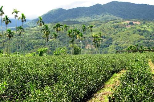 Tea Plantation, Wuhe Village, Rueisuei Township, Hualien County