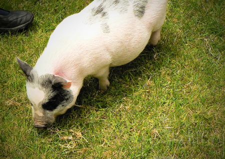 micro mini pot belly pig george