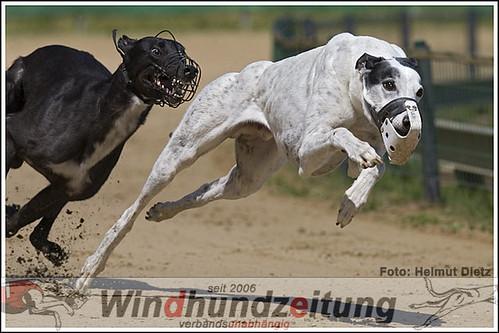 Greyhound Geldrops Stride trainiert in Münster und will den Veteranen CGRC-EM-Titel