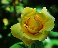 bud again and again (pacomomma) Tags: flowers roses colors gardens buds carmichael masterphotos nikond80 pse7 hennysgardens