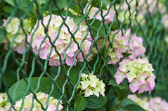 Green and pink flowers near a fence (Horia Varlan) Tags: pink flowers green leaves closeup fence clusters small violet tiny groups