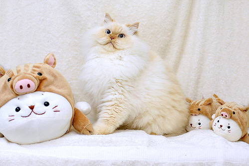cute Himalayan fluffy cat