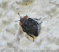 Beetle 1/2