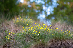 Marsh Marigold (arthoz) Tags: marshmarigold calthapalustris kingcup elverum glomdalsmuseet