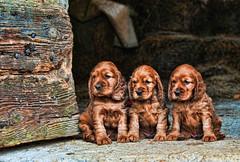 (Daniele Amisano) Tags: italy dog puppy nikon italia cocker cucciolo d300s