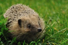 West European Hedgehog (Ami 211) Tags: hedgehog rodents erinaceus erinaceuseuropaeus erinaceinae erinaceidae westeuropeanhedgehog ukwiidlife