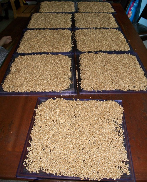 Sprouted whole wheat berries going into dehydrator