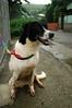 D00235 Star / 心心 (Nick‧小戴) Tags: dog female star adoptable 4yrs 心心 tuapa d00235