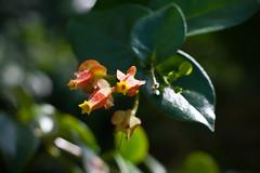 """Starburst"" (Macleania Pentaptera)"