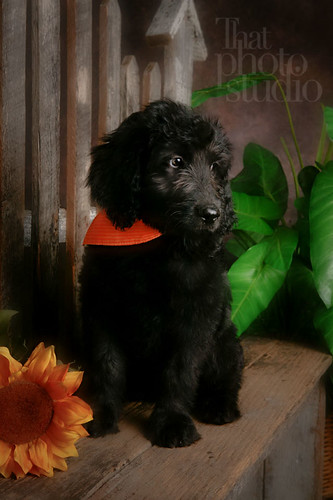 goldendoodle puppies california. Goldendoodle puppy poses for