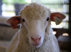 Polypay ewe lamb