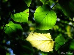 Lumière ... (Domi Rolland ) Tags: france nature automne de europe lumière couleur verte feuille aveyron midipyrénées lapanouse cernon