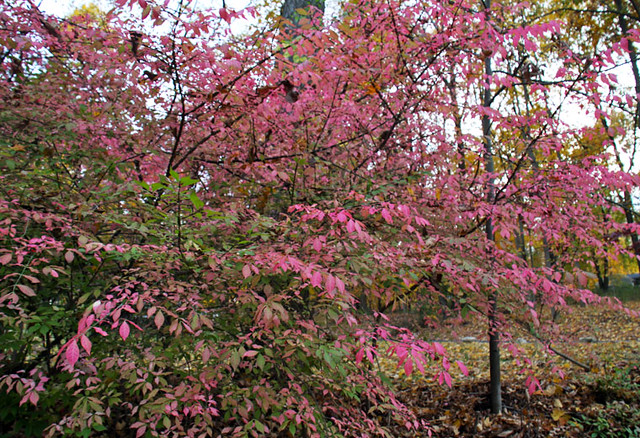 pink burning bush