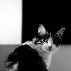 arlequin (Color-de-la-vida) Tags: cat 50mm chat gato 40d colordelavida skyelamigodekitty