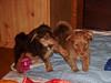 Hunde - 51 (Manfred Lentz) Tags: pets dogs puppy pups puppies hunde littledogs welpen hündchen babydogs whelps