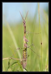 Drole de brindille.. (M@P31) Tags: empusapennata empusidae sonya77 tamron90macro france hautegaronne coneheadmantis muret insecte empusecommune antispalo mantodea 2017 macro