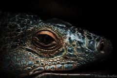 Dragon (Nicolas Rouffiac) Tags: animal animals animaux reptile reptiles nature dragon iguane iguana fantastic fantaisy beast monstre monster fear peur