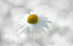 Miss Daisy dans les nuages (christophe.laigle) Tags: nuage fleur macro marguerite xf60mm cloud flower fuji blanc daisy pureté xpro2 white christophelaigle ngc npc