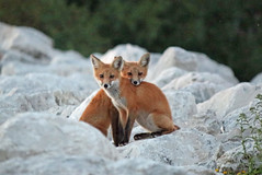 Seeing Double (marylee.agnew) Tags: red fox kits two sweet young canine wildlife nature siblings outdoor