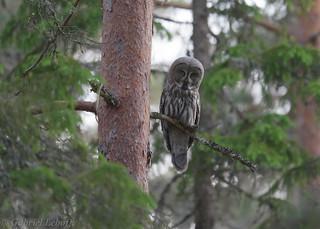 Chouette lapone Great Grey Owl  2398_DxO.jpg