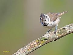 Herrerillo capuchino (Lophophanes cristatus) (10) (eb3alfmiguel) Tags: aves pajáros insectívoros passeriformes paridae herrerillocapuchino
