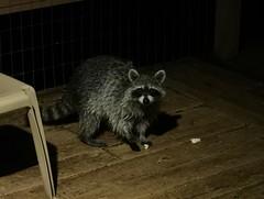 Lake House Night Visitor (Chicago Man) Tags: waushara county wausharacounty wisconsin usa nature north northwoods scene woods forest animal wildlife wild raccoon johnwiwanski