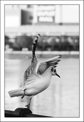 I won't take 'no' for an answer, I was born to be a dancer - 359/365 (Ian Livesey) Tags: uk england blackandwhite bw bird shopping canal wings fance dof dancing gull beak feathers feather salfordquays dancer top100 thelowry dailyphotograph ianlivesey ianliveseygmailcom