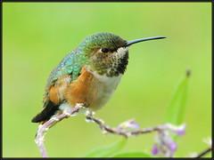 Hummer at rest... (tdlucas5000) Tags: hummingbird bokeh sigma apo dg 70300 supershot specanimal avianexcellence goldstaraward natureselegantshots saariysqualitypictures