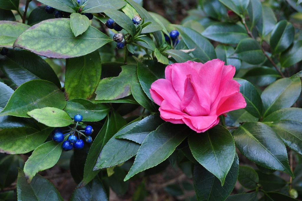 Camellia japonica 'Les Marbury' and Dichroa febrifuga