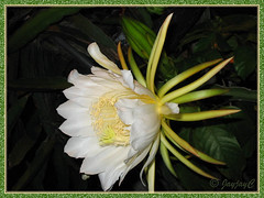 Beautiful flower of Hylocereus undatus (Red Pitaya, Dragon Fruit)