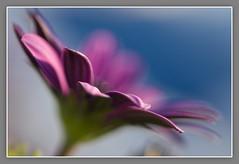 Flower, Fleur (NathalieSt) Tags: pink blue france flower green fleur rose fleurs petals purple bokeh violet vert bleu languedocroussillon herault lagrandemotte petales theperfectphotographer awesomeblossoms